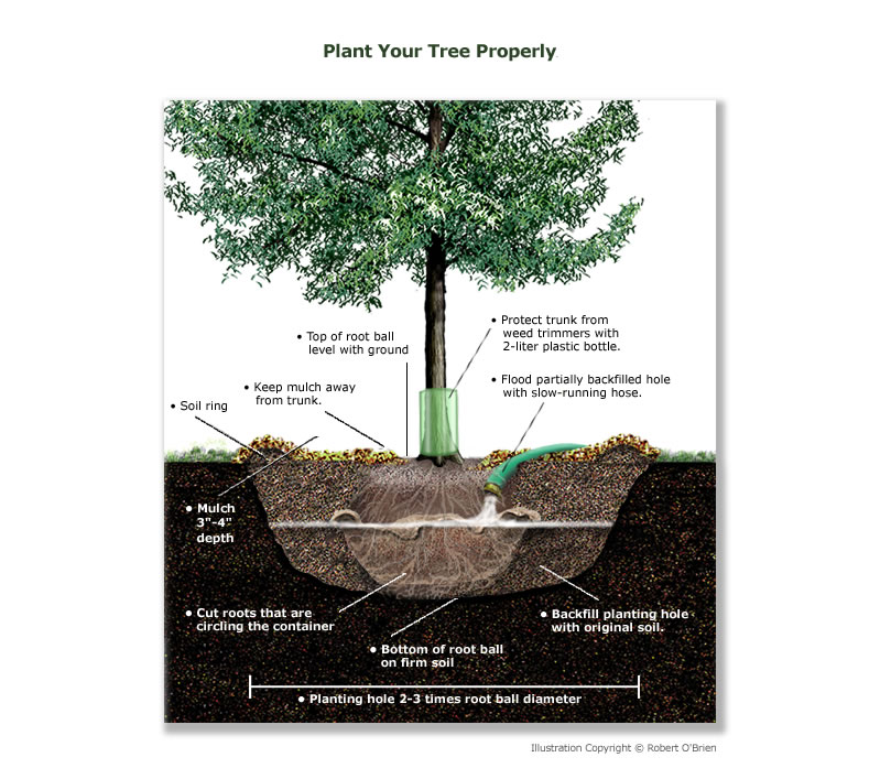 the steps in properly planting a tree 2017-05-03  the wind so they can develop properly  tilted and movement of the root ball in the planting hole may damage the tree's fine, absorbing roots how to stake and tie newly planted trees 4.