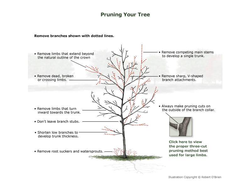 How to prune a young tree.