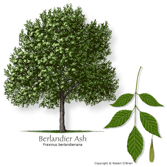 Common Name Berlanr Ash Fraxinus Berlanrana Tree Size Medium Leaf Type Deciduous Comments Overpruning Can Lead To Decay Problems