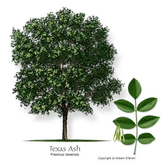 Ash Texas Common Name Fraxinus Texensis Tree Size Medium Leaf Type Deciduous Comments Good Long Lived Shade