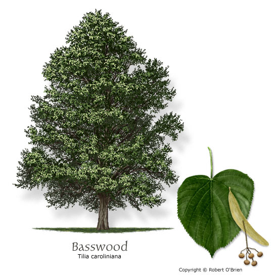 Carolina Basswood (Linden)