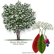 Rusty Blackhaw
