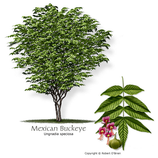 Common Name: Mexican-BUCKEYE