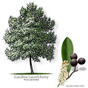 Carolina Laurelcherry