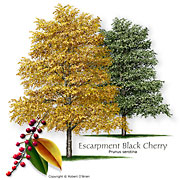 Escarpment Black Cherry