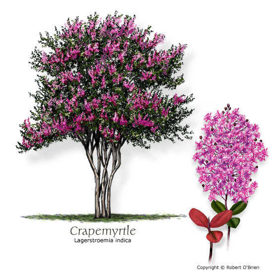 Common Crapemyrtle