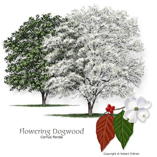 Common trees of missouri missouris natural heritage and often is planted as an ornamental for its bright foliage and flowers its roots were once used to make red dye and many birds eat its berries mightylinksfo