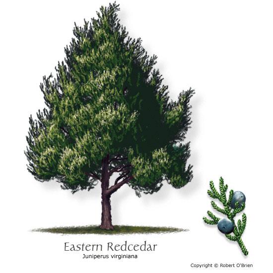 Common Trees of Missouri Missouris Natural Heritage