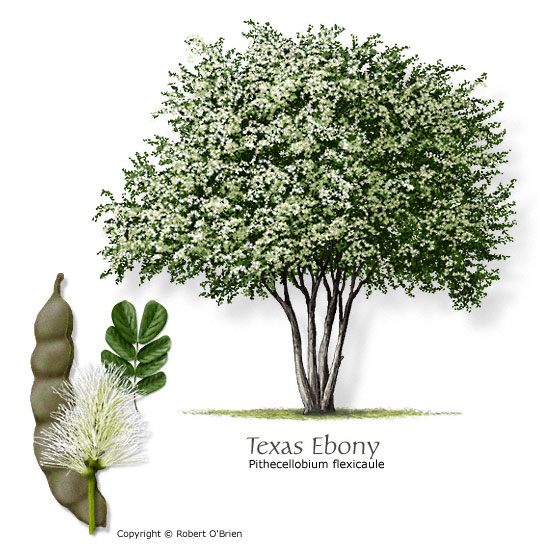 texas tree selector, Natural flower