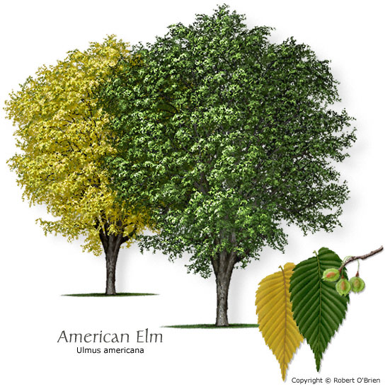 It grows up to 100 feet tall and branches out into a large canopy. It has a simple alternate tree pattern and grows throughout Missouri.  sc 1 st  Arts u0026 Sciences Pages - Washington University in St. Louis & Common Trees of Missouri | Missouriu0027s Natural Heritage