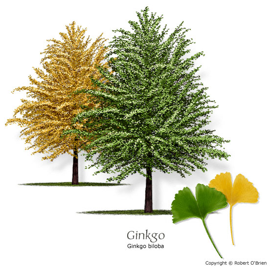 Ginkgo (Maidenhair Tree)