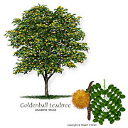 Goldenball Leadtree