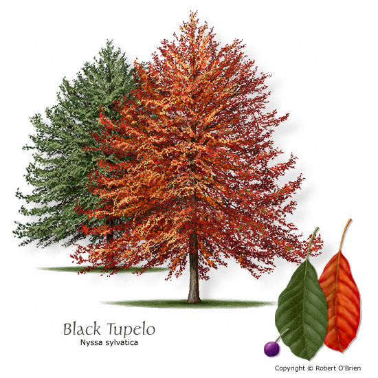 Blackgum (Black Tupelo)