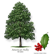 external image holly_american_med.jpg