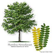 Thornless Honeylocust