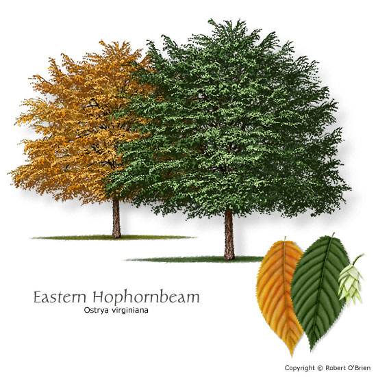 Eastern Hophornbeam (Ironwood)