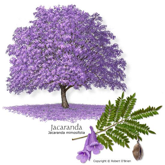 Jacaranda mimosifolia  Tree  Jacaranda Tree Leaves