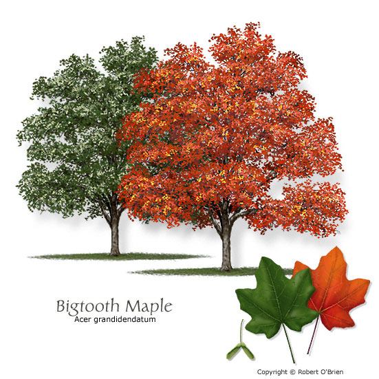 Bigtooth Maple (Canyon Maple)