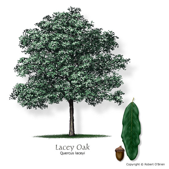 Lacey Oak (Blue Oak)