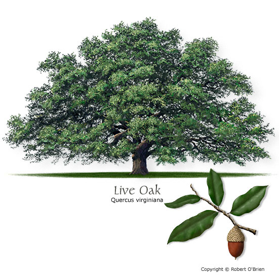 Texas tree selector tree size large leaf type evergreen comments the escarpment live oak is a closely related native species more suited to central and west texas sciox Choice Image