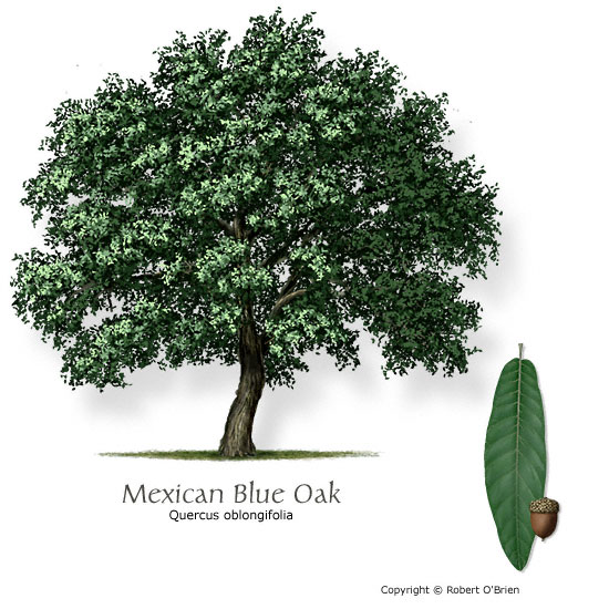 Mexican Blue Oak