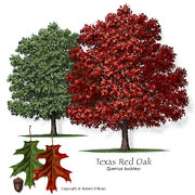 Texas Red Oak