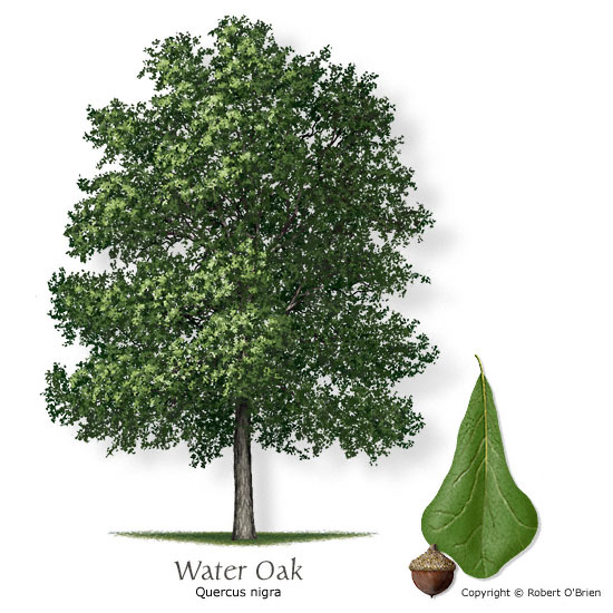 Water Oak (Pin Oak)
