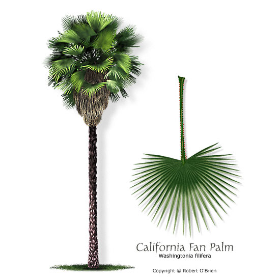Pictorial Dictionary: CALIFORNIA FAN PALM