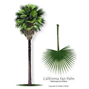 California Washingtonia