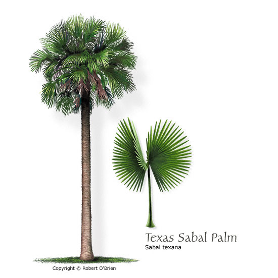 texas sabal palm mexican palmetto latin name sabal texana tree