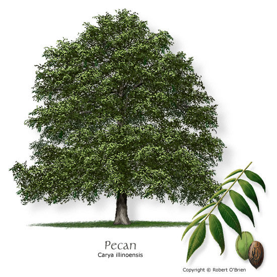 Texas tree selector tree size large leaf type deciduous comments state tree of texas plant with plenty of room sciox Choice Image