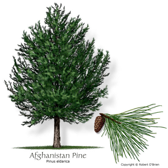 Types of evergreen pine trees fast growing pine suitable