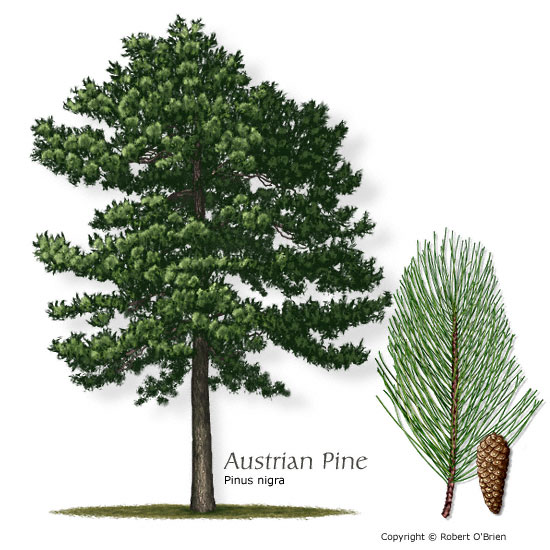 Texas tree selector tree size large leaf type evergreen comments european native that can handle colder parts of texas sciox Choice Image