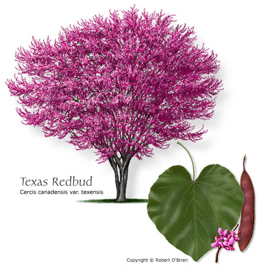 Texas tree selector redbud texas common name texas redbud cercis canadensis var texensis tree size small leaf type deciduous comments good choice for central and west sciox Choice Image