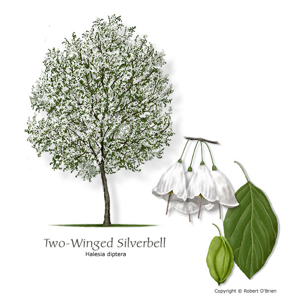 Two-winged Silverbell (Snowdrop Tree)