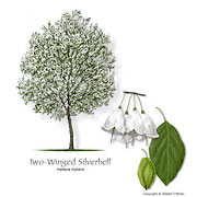 Two-winged Silverbell
