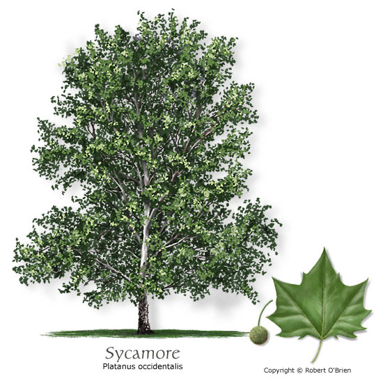 Sycamore (American Planetree)