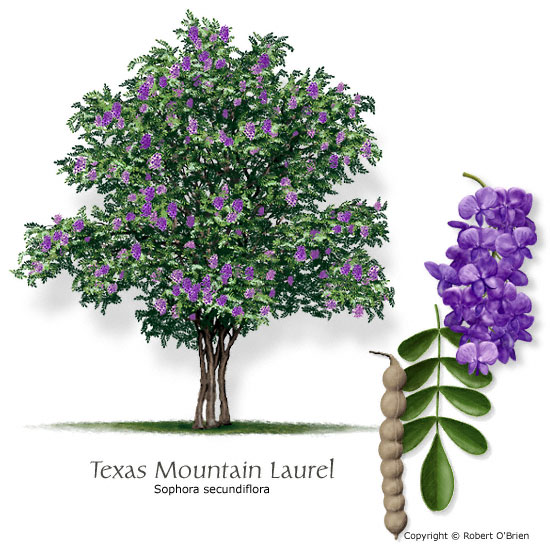 Texas Mountain-Laurel (Mescalbean)