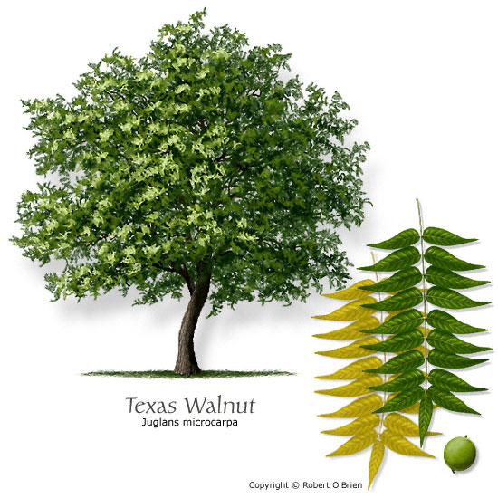 Texas Walnut (Littleleaf Walnut, Nogalito)