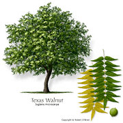 Texas Walnut