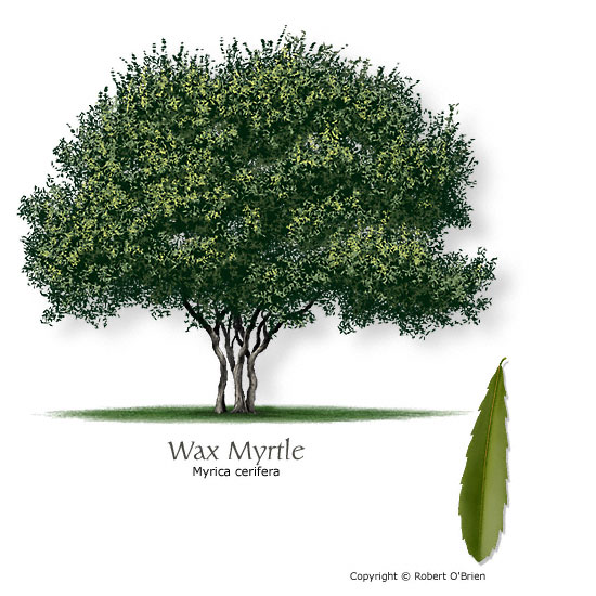 Waxmyrtle (Southern Bayberry)